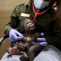 Bayi laki-laki itu adalah anak kelima Kiki. Dia sebelumnya melahirkan empat anak perempuan. dok. BBC News/Franklin Park Zoo