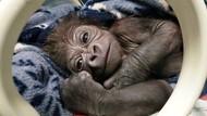Potret Bayi Gorila Laki-Laki yang Lahir di Kebun Binatang Inggris