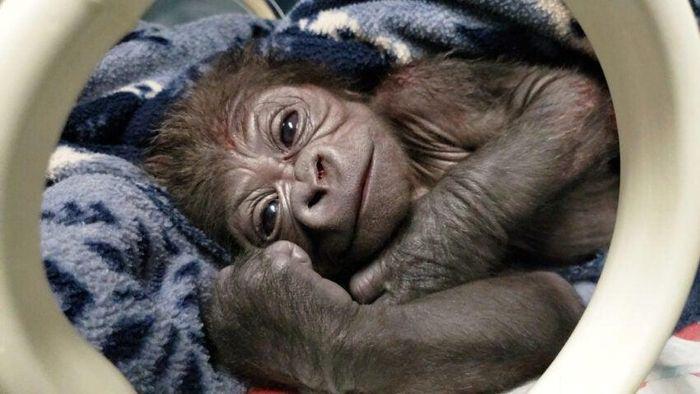 Kebun Binatang New England, yang mengelola Franklin Park Zoo dan Stone Zoo di Stoneham mengumumkan kelahiran pertama bayi gorilla laki-laki di Franklin Park Zoo, Boston. dok. BBC News/Franklin Park Zoo