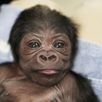 Kiki dan bayinya, merupakan jenis gorila dataran rendah Barat, yang berasal dari sebuah wilayah di Afrika Tengah, dianggap sangat terancam punah keberadaannya. dok. BBC News/Franklin Park Zoo
