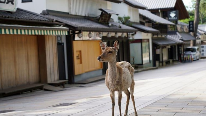 Rusa di Nara, Jepang