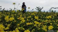 Menikmati Indahnya Taman Bunga Celosia di Kuningan