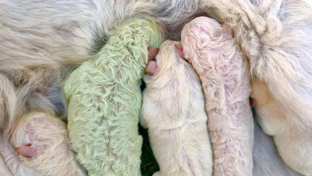 Langka! Anak Anjing Berwarna Hijau Lahir di Italia