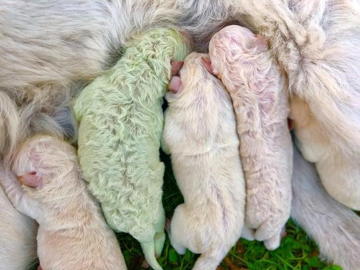 Anak anjing unik berwarna hijau
