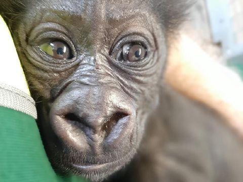 Anak gorila diasuh penjaga kebun binatang