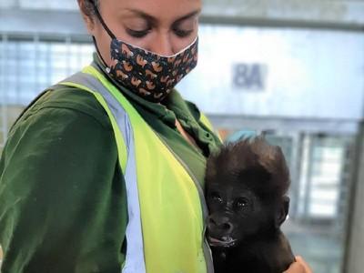 Jaga Bayi Gorila, Penjaga Bonbin Tiru Kebiasaan Induknya