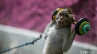 Ironi Topeng Monyet, Masih Beraksi Meski Dilarang di DKI