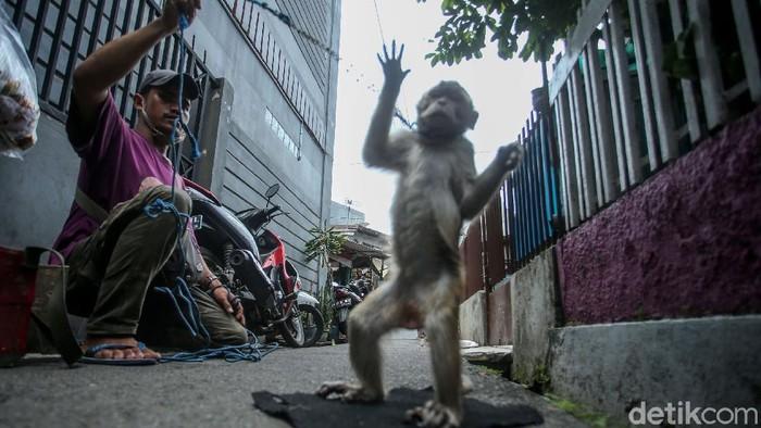 Atraksi topeng monyet masih ditemukan meski dilarang di Jakarta. Tak sedikit pelaku usaha beralasan ngamen topeng monyet dilakukan untuk penuhi kebutuhan hidup.