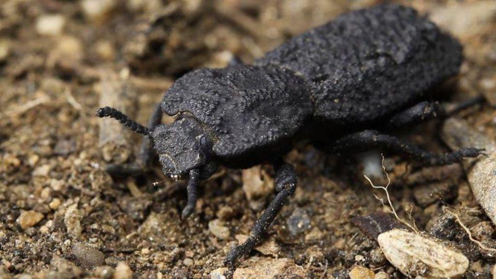 Misteri Kumbang Kulit Besi yang Tahan Dilindas Mobil