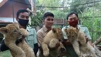 3 Bayi Singa Afrika dan 1 Bayi Jerapah Lahir di Taman Safari Prigen