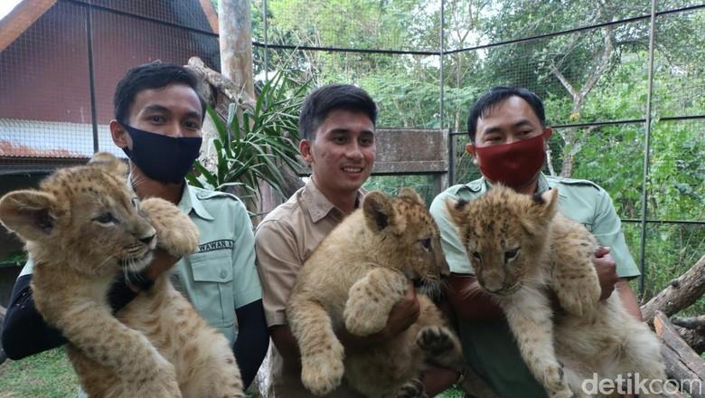 Jerapah dan singa lahir di Prigen