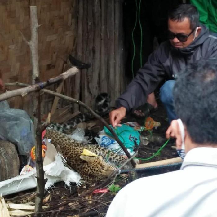 Macan Tutul Terluka di Kawah Putih Bandung