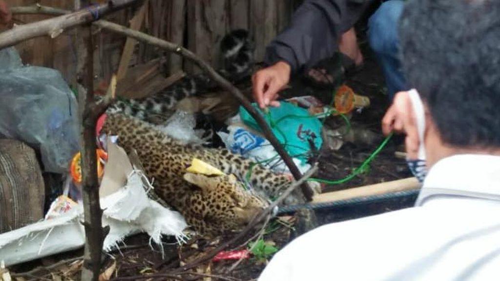 Macan Tutul Terluka dan Terjerat Tali di Kawah Putih Bandung