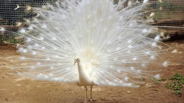 Diketahui ada tiga ekor merak putih didatangkan dari India ke Taman Marga Satwa Budaya dan Kinantan (TMSBK) Bukittinggi.