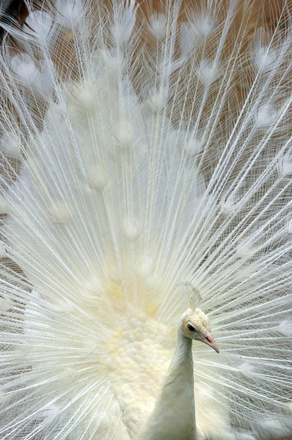 Ketiga ekor merak putih tersebut didatangkan untuk melengkapi koleksi unggas Kinantan Bird Park yang baru dibuka saat masa pandemi.