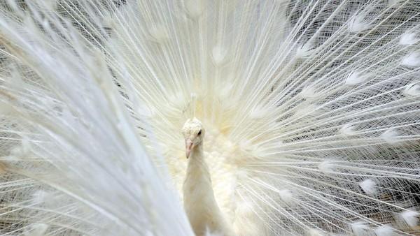 Seekor Merak putih (pavo cristatus) berada di kandang aviary, Taman Marga Satwa Budaya dan Kinantan (TMSBK) Bukittinggi, Sumatera Barat, Sabtu (24/10/2020).
