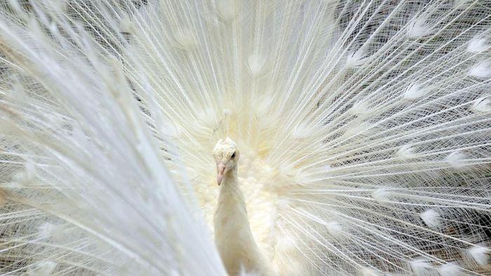 Tiga ekor merak putih didatangkan dari India untuk lengkapi koleksi unggas di Taman Marga Satwa Budaya dan Kinantan (TMSBK) Bukittinggi. Seperti apa potretnya?