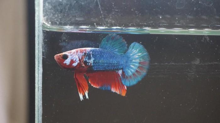 Bisnis Ikan Cupang Makin Cuan di Demak