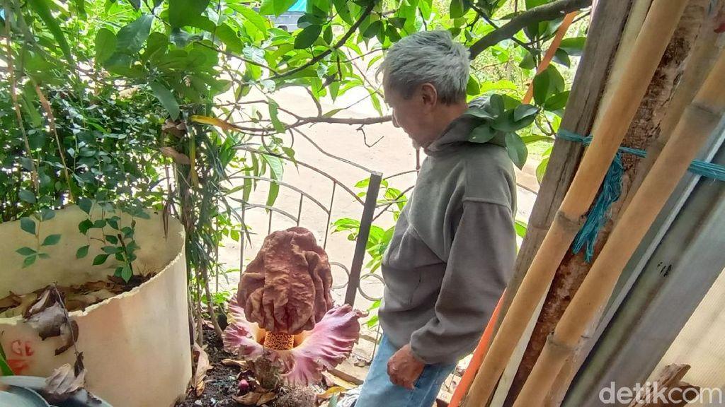 Unik! Bunga Bangkai Setinggi 60 Cm Tumbuh di Halaman Rumah Warga Bandung