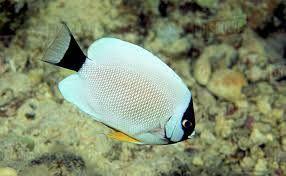 Ikan Masked Angelfish.