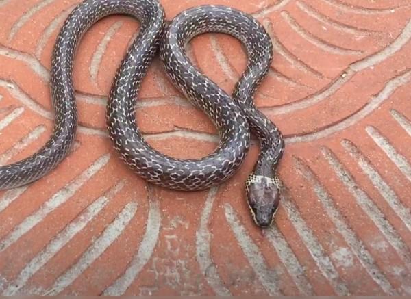 Telinga ular tidak ada di luar, namun ada di bagian dalam kulit yang mampu menangkap gelombang suara.(Dok Yayasan Sioux Ular Indonesia)