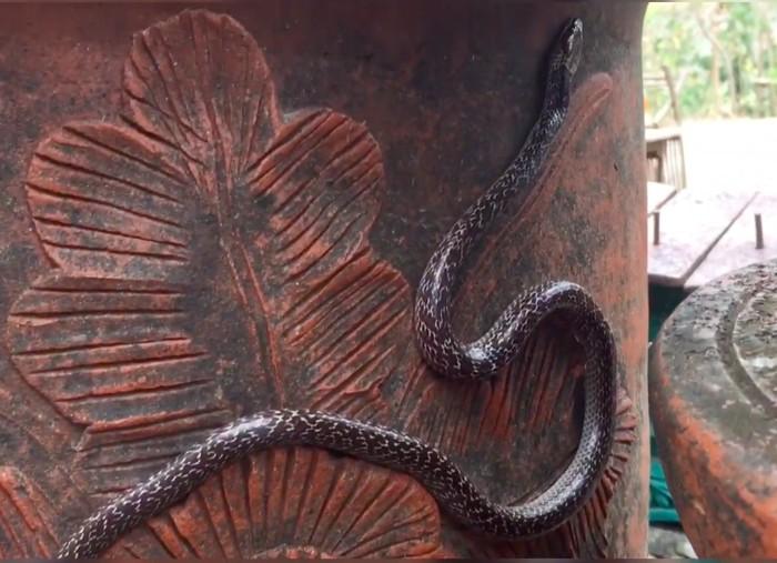 Ular sawa emprit-ular genting-ular cicak, Lycodon capucinus. (Dok Yayasan Sioux Ular Indonesia)