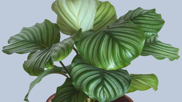 Calathea Orbifiola