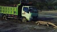 Komodo Vs Truk, #SaveKomodo Bergema di Medsos