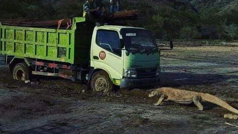 Viral foto Komodo vs truk