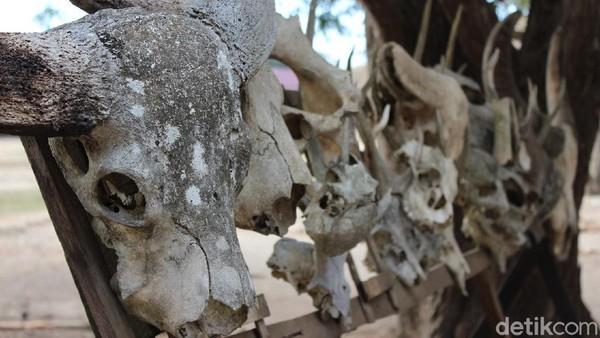 Hewan-hewan yang jadi santapan Komodo menyisakan tengkorak.