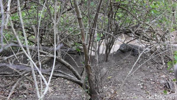 Komodo menjaga sarangnya di Loh Buaya.