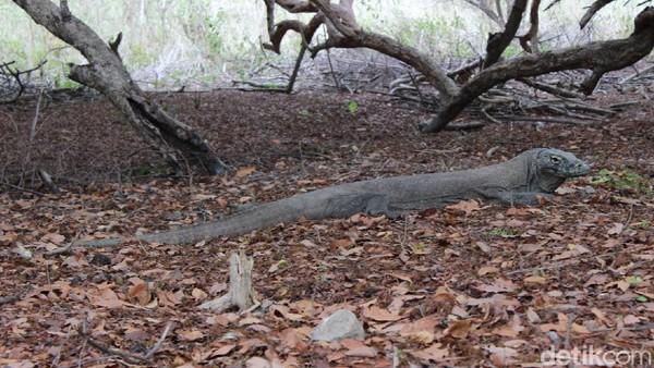 Meski ganas, Komodo termasuk hewan yang pemalas, mereka baru aktif ketika bergerak mencari mangsa. Mereka bisa berlari sampai kecepatan 20 km per jam. Jadi hati-hati jangan sampai mengganggu mereka.