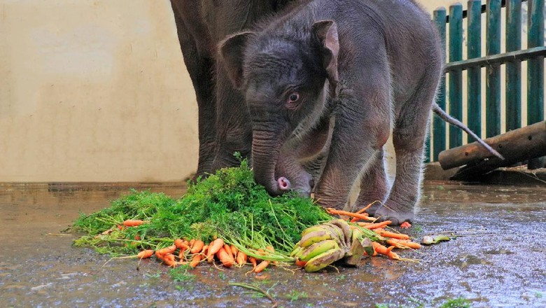 Bayi gajah Sumatera bernama Covid di Taman Safari Bogor