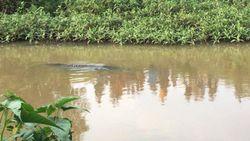 Buaya Muncul di Sungai Way Penet Lampung Bikin Heboh Warga, Ini Kata TNWK