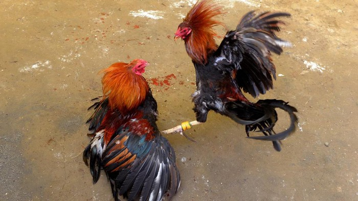 Villagers engage in a cockfighting in a make shift arena as part of the towns annual fiesta celebrations in Barangay San Roque outside Manila on August 10, 2014. Cockfighting is hugely popular in the Philippines where large amounts of money are wagered on battles between roosters.     AFP PHOTO / Jay DIRECTO (Photo by JAY DIRECTO / AFP)