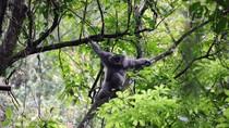 Pertamina EP Sukses Lepasliarkan Owa Jawa ke Alam Bebas