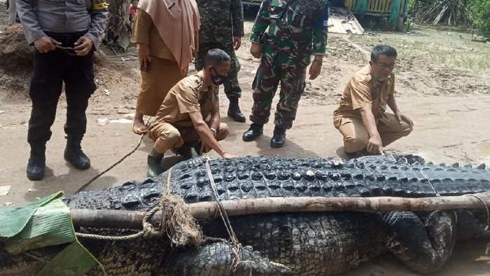 Buaya berukuran jumbo dengan berat 700 kg ditangkap di Babel.