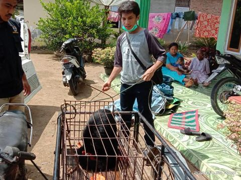 Seekor binturong di Agam, Sumbar, dievakuasi usai masuk ke kebun warga. Binturong ini sempat dikira beruang oleh warga.