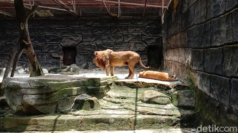 Long weekend, warga memilih berlibur ke Bandung Zoo untuk mengisi waktu libur cuti bersama. Mereka berkunjung dengan tetap menerapkan protokol kesehatan.