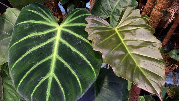 Philodendron luxurians