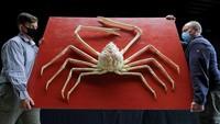 Kepiting Laba-laba Jepang Langka Ini Harganya Ditaksir Rp 227 Juta