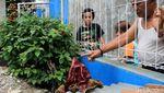 Lagi, Bunga Bangkai Suweg Tumbuh di Halaman Rumah Warga Bandung