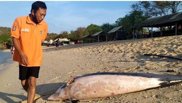 Sekretaris SAR Linmas Wilayah II Kabupaten Gunungkidul Surisdiyanto saat menunjukkan seekor lumba-lumba yang ditemukan mati, Kamis (29/10/2020).