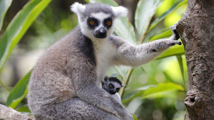 Yang Lucu dan Imut di Hari Lemur Sedunia