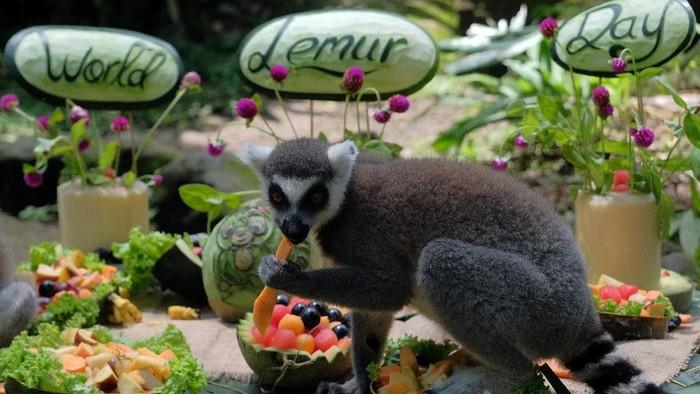 Bali Zoo berhasil mengembangbiakkan 8 ekor dari lima induk Lemur dalam rentang waktu tiga tahun. Seperti apa potret para lemur di kebun binatang itu? Lihat yuk.