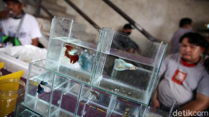 Pengunjung mengamati ikan cupang yang dipajang di Bazar ikan Cupang di Kawasan Pasar Gembrong Baru, Jakarta, Jumat (30/10). Bazar ikan cupang ini digelar mulai hari ini hingga 30 November 2020.