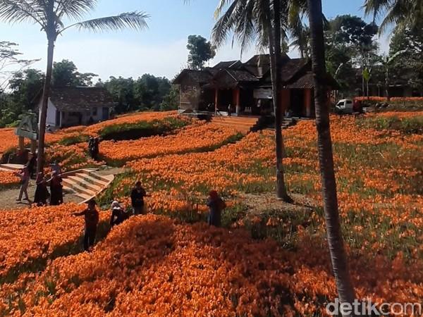 Kebun bunga amarilis berada di Padukuhan Ngasem Ayu, Kalurahan Salam, Kapanewon Pathuk, Gunungkidul. (Pradito Rida Pertana/detikcom)