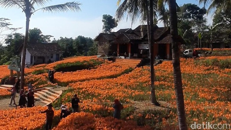 Kebun bunga Amarilis Gunungkidul