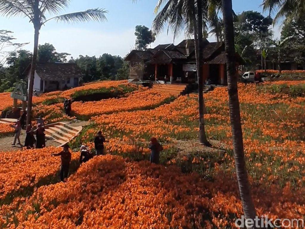 Kamu Sudah Lihat Cantiknya Kebun Bunga Amarilis?