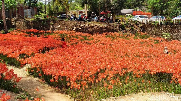 Pas banget, di akhir pekan ini semua bunga sedang mekar. (Pradito Rida Pertana/detikcom)
